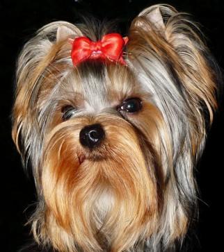 Yorkshire-Terrier Hündin