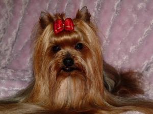 Yorkshire Terrier Royal Tiffany's Mastercard