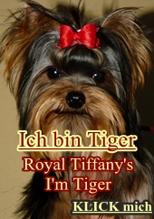 Yorkshire Terrier Royal Tiffany's Tiger